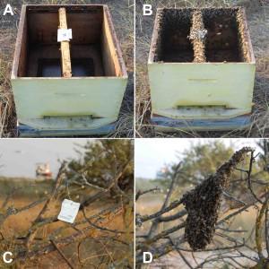 Atrayente de enjambres de Vita en acción para formar enjambres secundarios y atraerlos a una rama