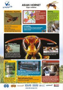 Asian hornet infographic