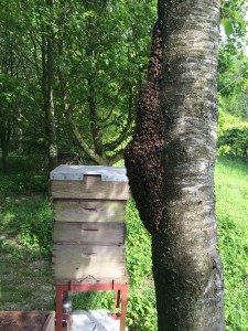 Swarm prefers leeward side of an apiary tree to a cosy brood box.