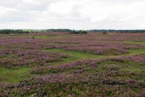 New Forest ling heather in flower