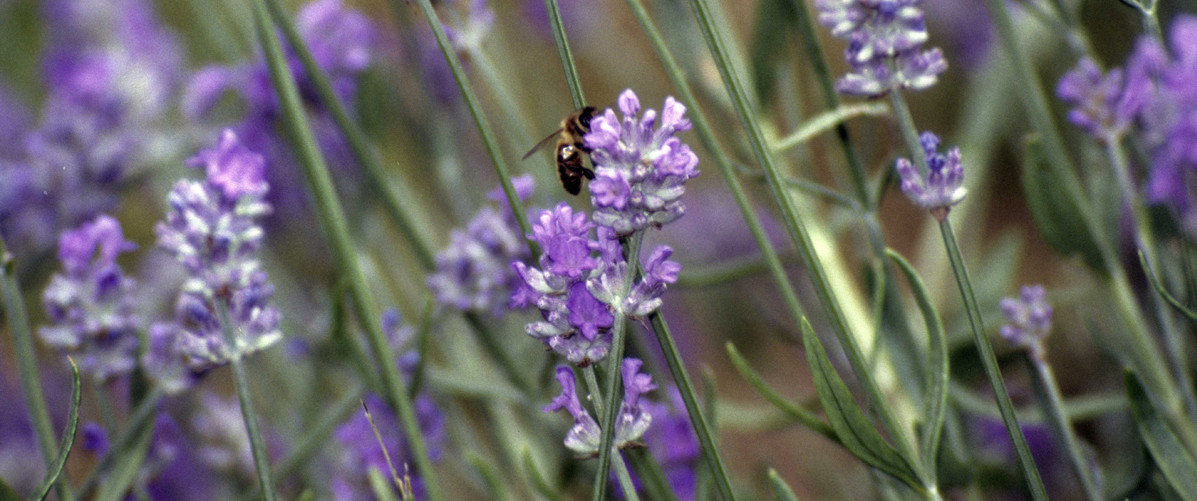 worker foraging lavender (Lavandula)