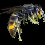 Asian hornet (Vespa velutina) picture
