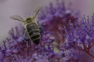 Honey Bee with blue pollen from Hydrangea