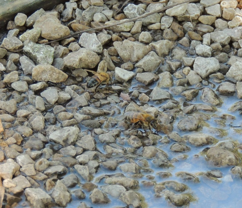 Bees collecting water