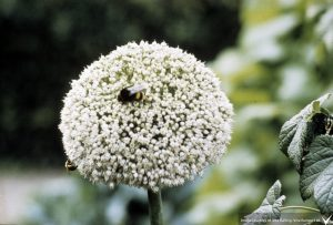 bee (Bombus) foraging onion (Allium)
