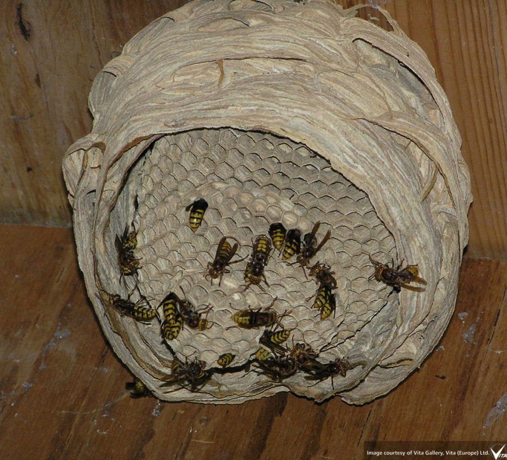 active hornets' nest sliced to reveal activity