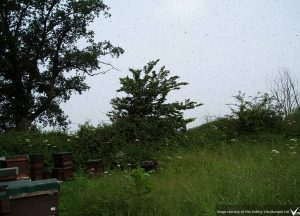 a swarm takes to the air in an apiary