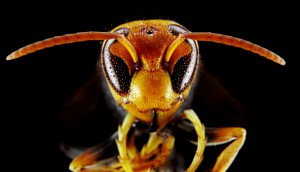 Asian Hornet Head