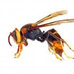 Asian hornet body
