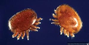 The dreaded varroa mite